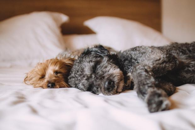 собаки лежат на кровати