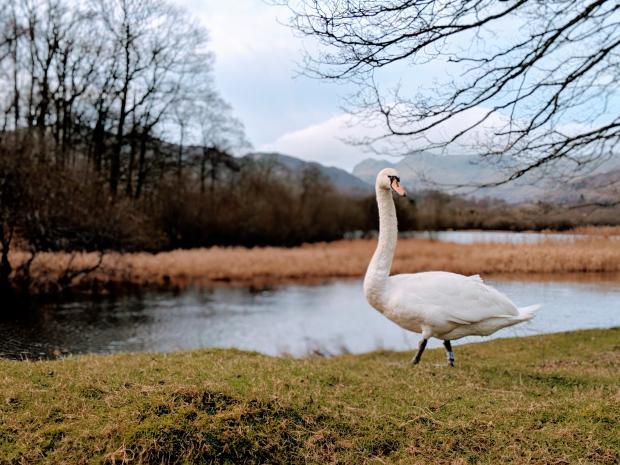 Лебедь возле водоема