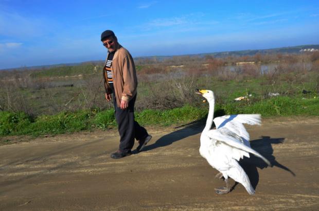 мужчина и лебедь