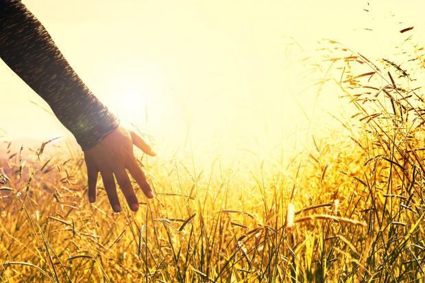 девушка идет по пшеничному полю