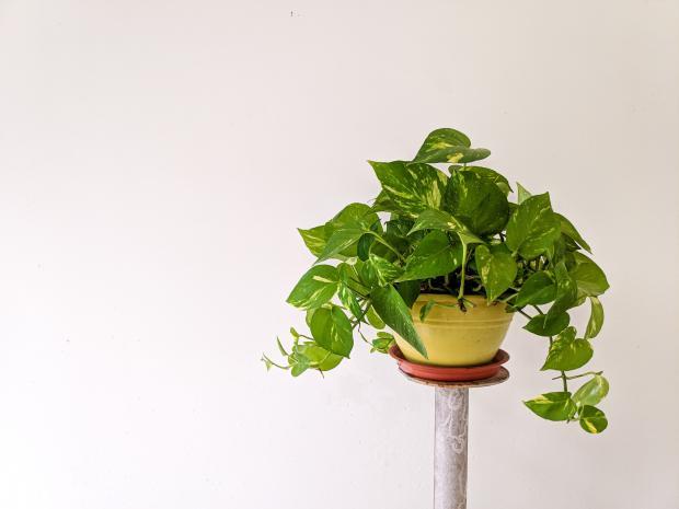 горшок с вьющимися растениями