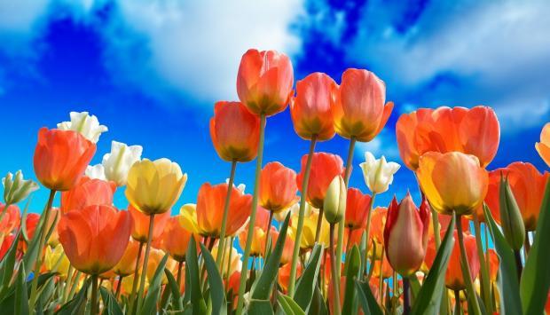 тюльпаны тянутся к синему небу