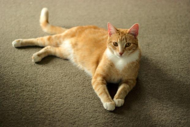 бело-рыжий кот лежит на ковре