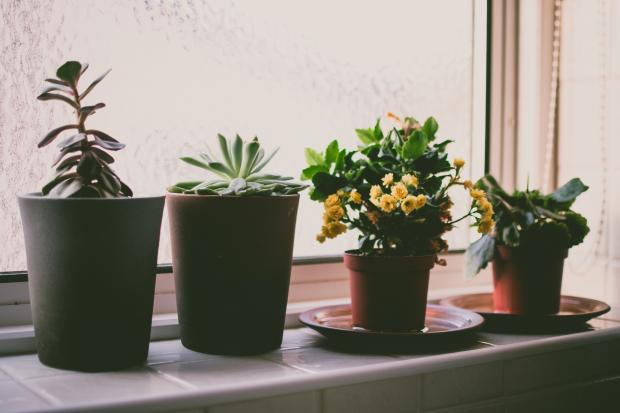 комнатные цветы в горшках на подоконнике