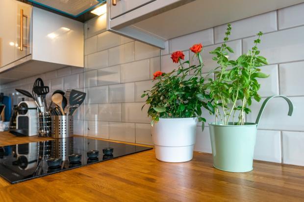 два комнатных цветка в кухне