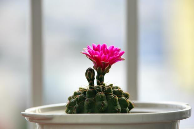 цветущий кактус в горшке