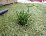 Трава выросла сквозь искусственное покрытие