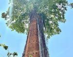 Дерево растет сквозь заброшенное здание
