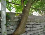 Дерево растущее через забор