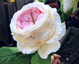 Съедобные цветы которые трудно отличить от настоящих: фото десертов мастера из Австралии