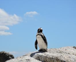 Сообразительный пингвин запрыгнул в лодку с людьми спасаясь от стаи касаток – видео