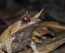 Мастер маскировки в дикой природе: фото и особенности малайской листовой лягушки