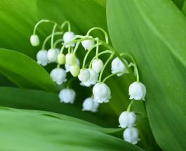 Ландыши на клумбе: секреты посадки и ухода за красивыми растениями