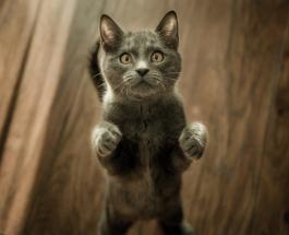 Топ-5 пород кошек с которыми у владельца могут возникнуть неожиданные проблемы