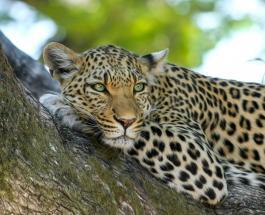 4 редких амурских леопарда попали в объектив камеры на границе России и Китая