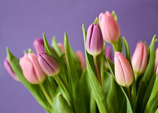 розовые тюльпаны