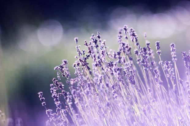 фиолетовые цветы в поле