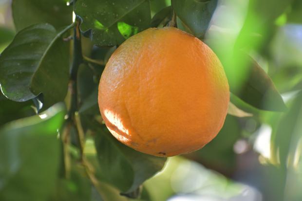 апельсин висит на ветке