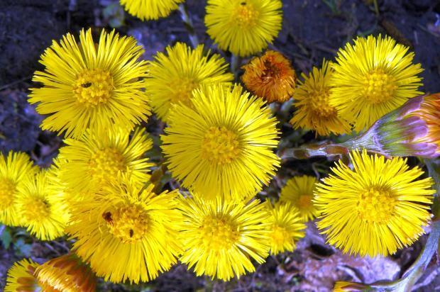 Желтые цветы мать-и-мачехи