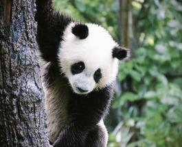 Рождаются розовыми и едят по 16 часов в день: интересные факты о пандах