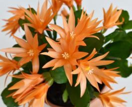 Как ухаживать за пасхальным кактусом: полезные советы для владельцев Рипсалидопсиса