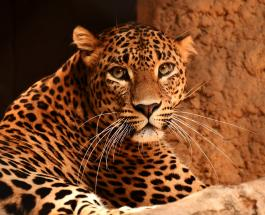 Амурский леопард и 5 других видов животных находящихся под угрозой исчезновения