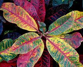 Как дома вырастить кротон - комнатный цветок с яркими разноцветными листьями
