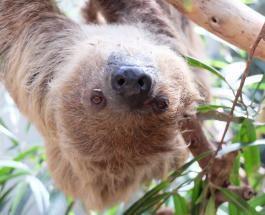 50-летний ленивец из немецкого зоопарка стал рекордсменом Книги Гиннесса