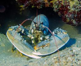 Редкий голубой омар пойман у побережья Великобритании: фото удивительного морского жителя