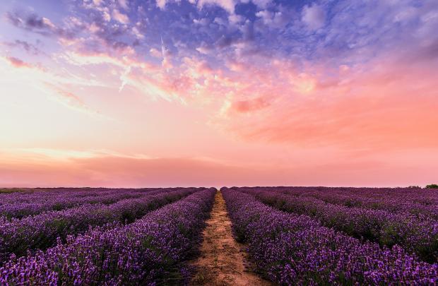 поле лаванды, проселочная дорога