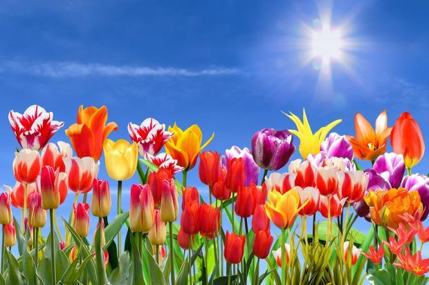 разноцветные тюльпаны под голубым небом тянутся к солнцу