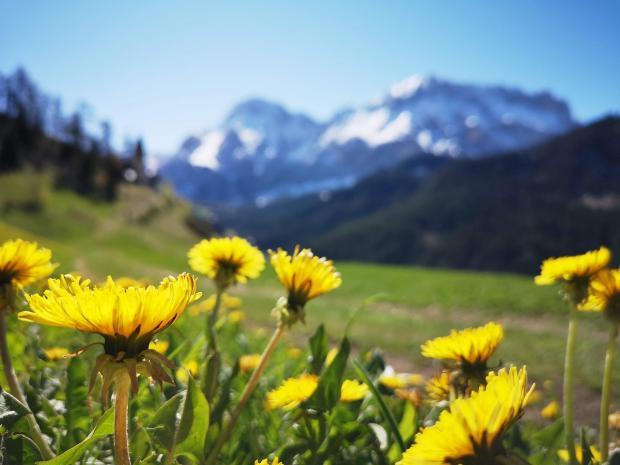 желтые одуванчики на фоне гор