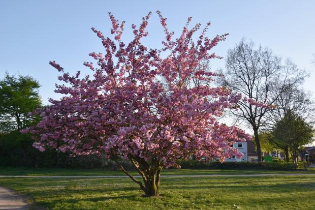 дерево цветет розовым цветом
