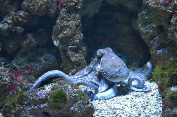 осьминог