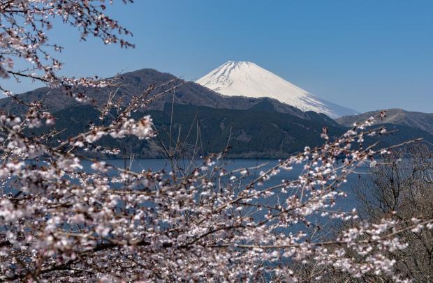 цветущее дерево на фоне вулкана