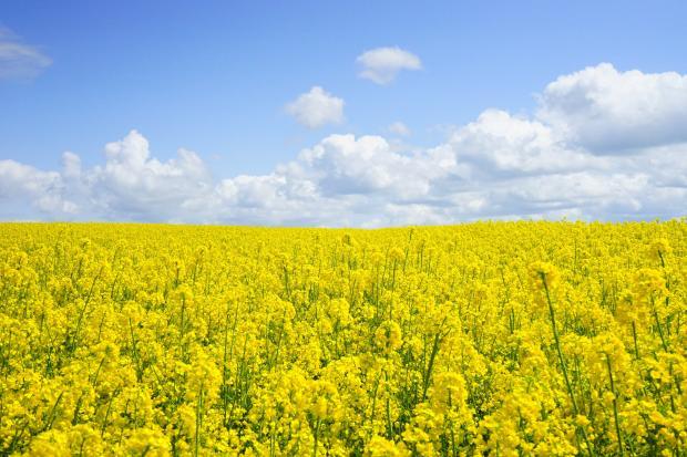цветущее поле, голубое небо с облаками
