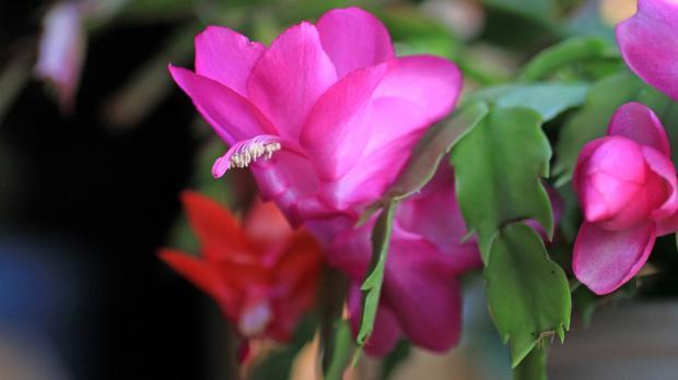суккулент пасхальный кактус