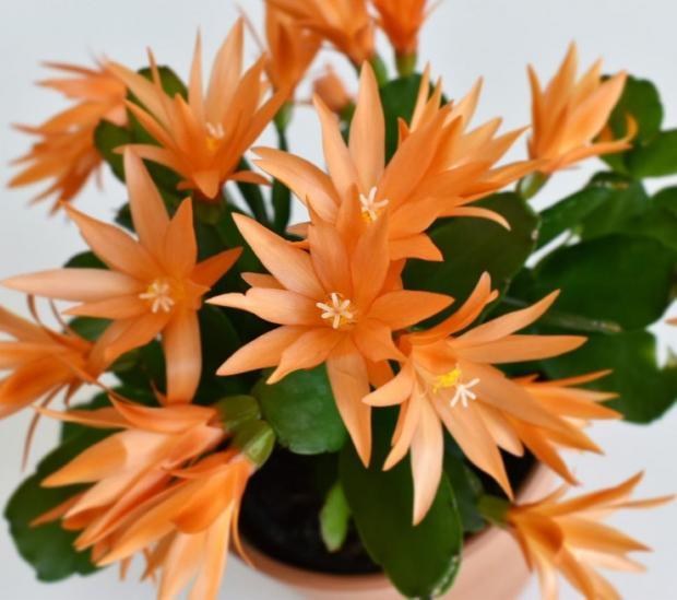 цветет пасхальный кактус