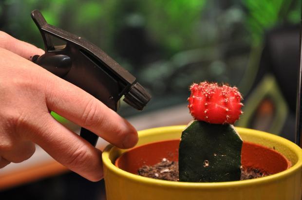 как правильно опрыскивать кактус