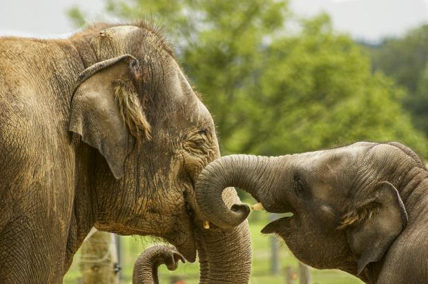 суматранский слон играет со слоненком