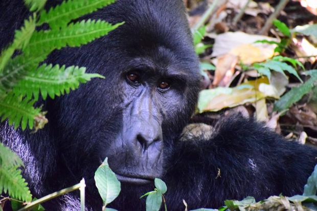 выглядывает из-за листвы горная горилла