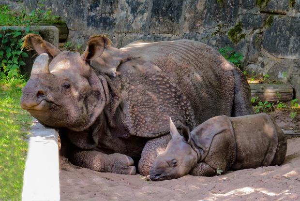 яванский носорог с детенышем