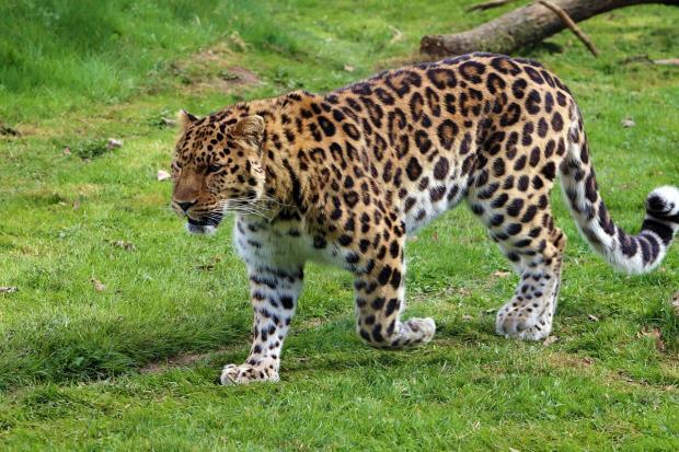 по зеленой траве идет леопард