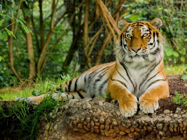 лежит южно-китайский тигр