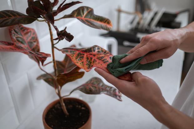 протирание листьев кротона губкой