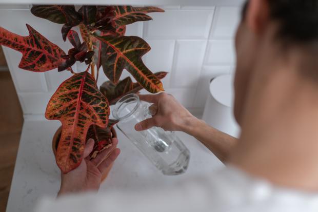 мужчина поливает кротон