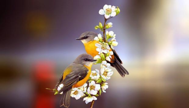 две желтые птицы сидят на цветущей ветке