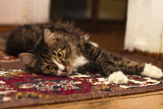 на красном ковре лежит котенок