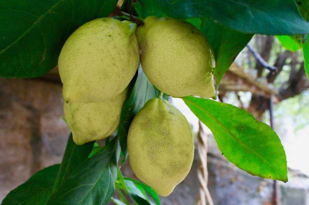 плоды лимона на дереве