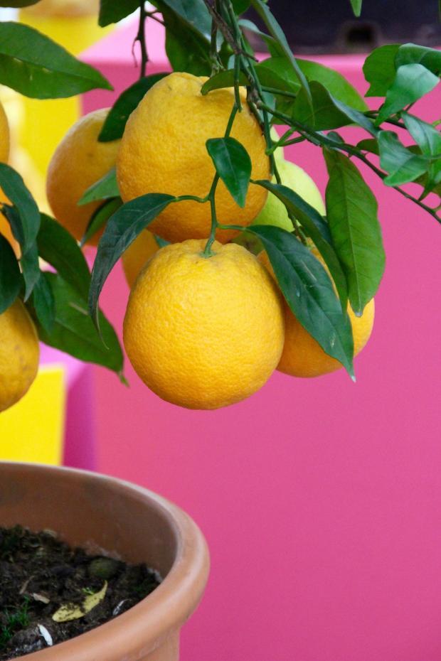 спелые плоды лимона на дереве в горшке